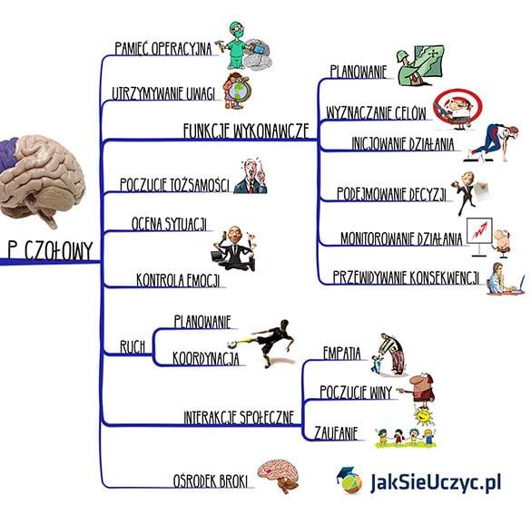 mózg człowieka kora czołowa funkcje mapa myśli