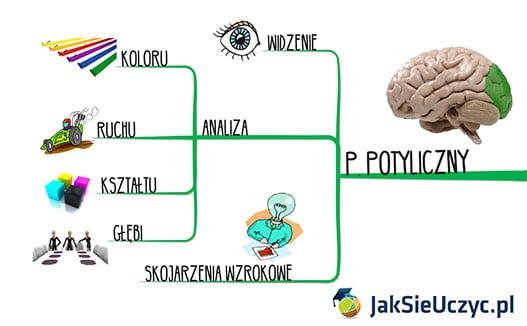 Płat potyliczny - Kora mózgowa