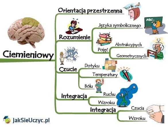 mózg płat ciemieniowy