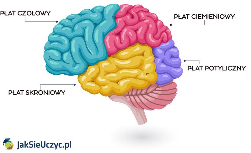 Płaty mózgu