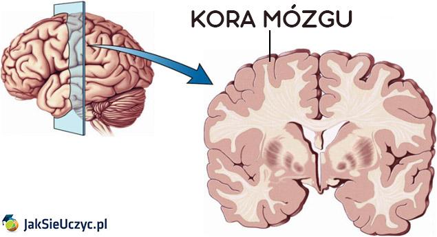 kora mozgu